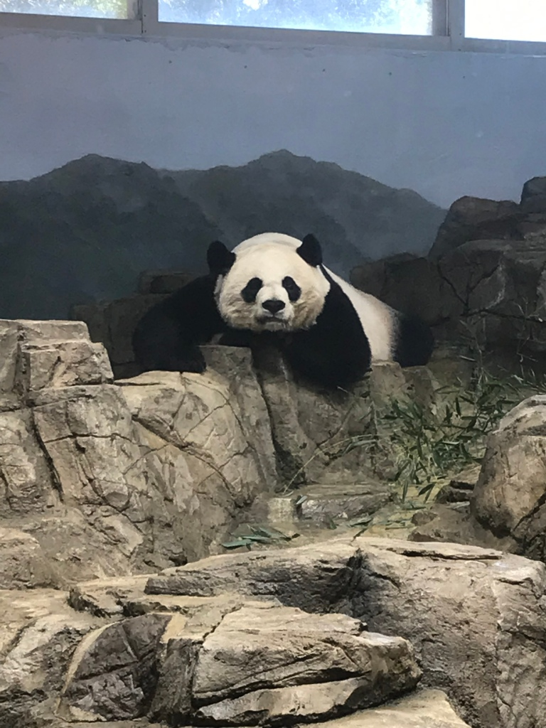 A annoyed looking giant panda