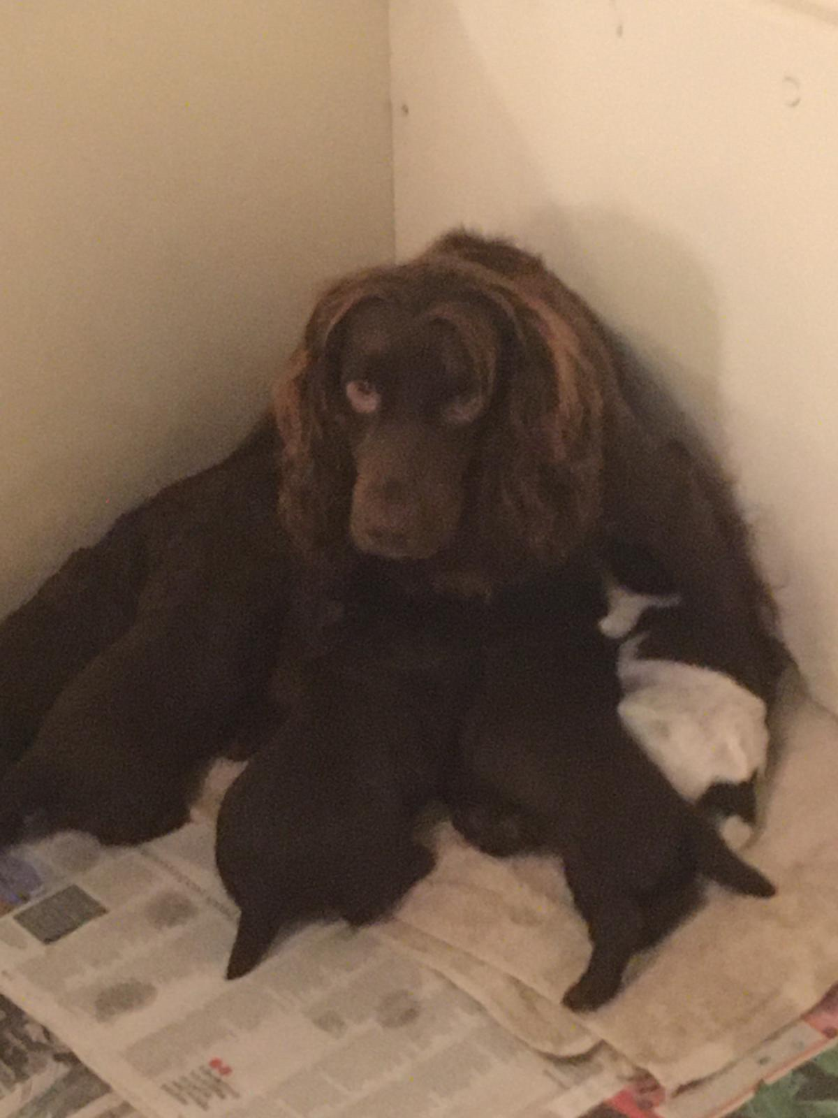 A cocker spaniel and her puppies.