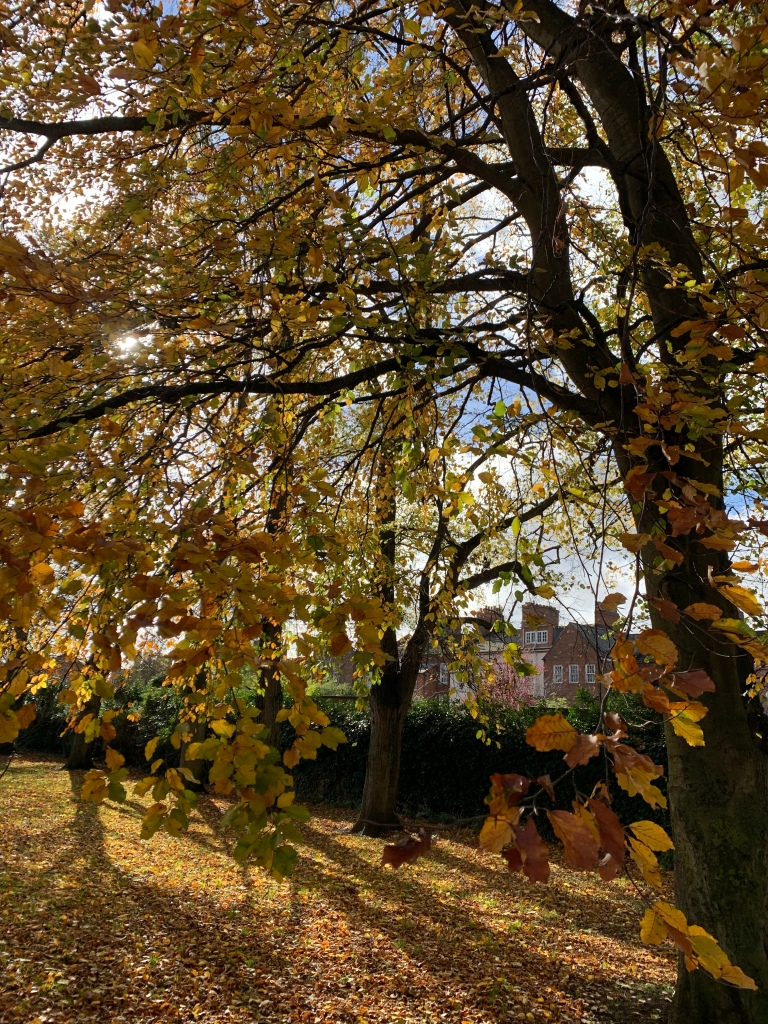 A tree with the sun shining through it's remaining yellow leaves, with loads more on the ground around it