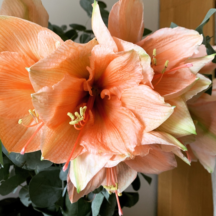 Close up of Peach Amaryllis