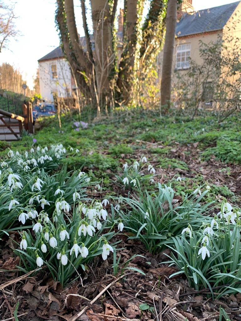 Some snowdrops in a park near my house on Sunday
