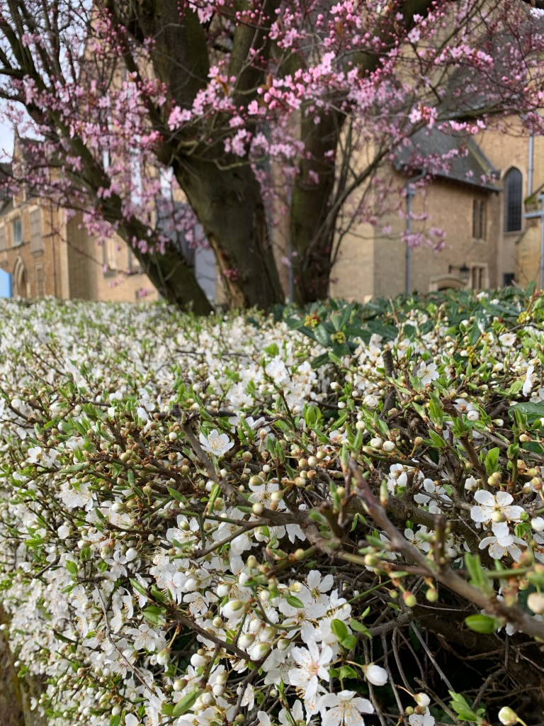 blossoms on trees and hedges