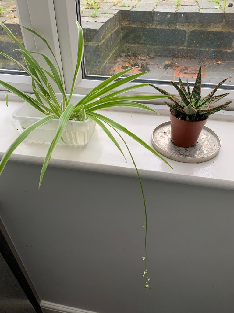 A baby spiderplant in water and a small aloe vera plant on a window sill.